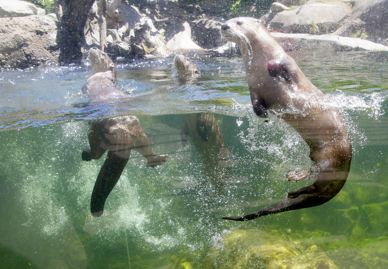 RIVER.OTTERS.Zoo.SW042.JPG