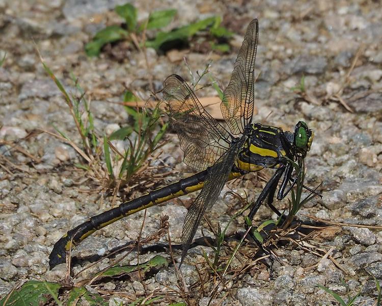 Dragonhunter, male