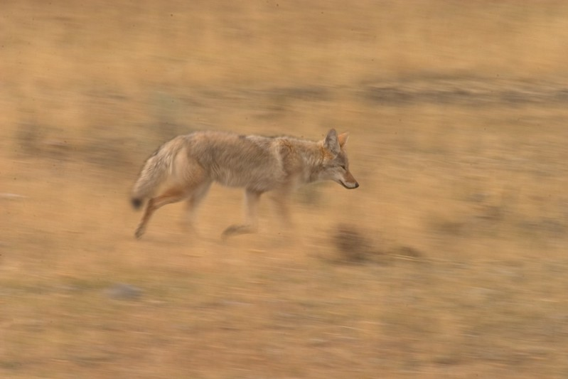 Yellowstone Coyotes are used to humans; They will often ignore photographers and tourists, going about their business of survival [September; Yellowstone National Park, Wyoming]