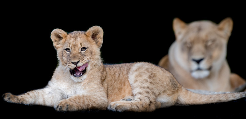 Lion cub with mother in background