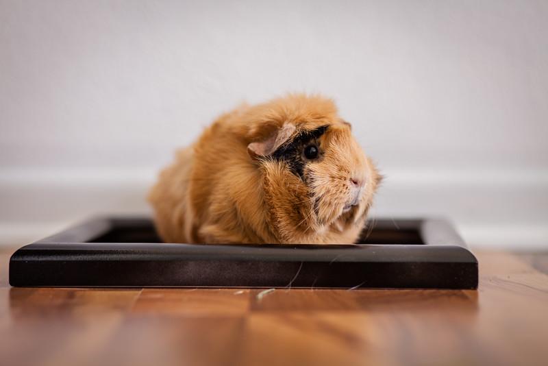 Ginea Pigs-23.jpg