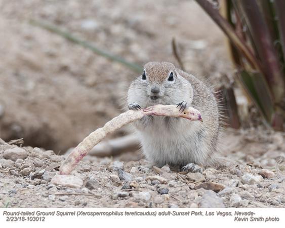 Round-tailed Ground Squirrel A103012.jpg