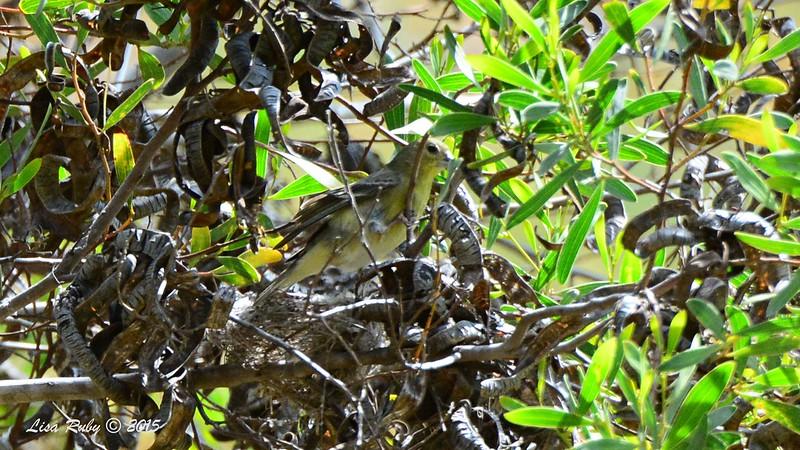 Lesser Goldfinch building a nest - 3/22/2015 - Canyon under Spruce Street bridge