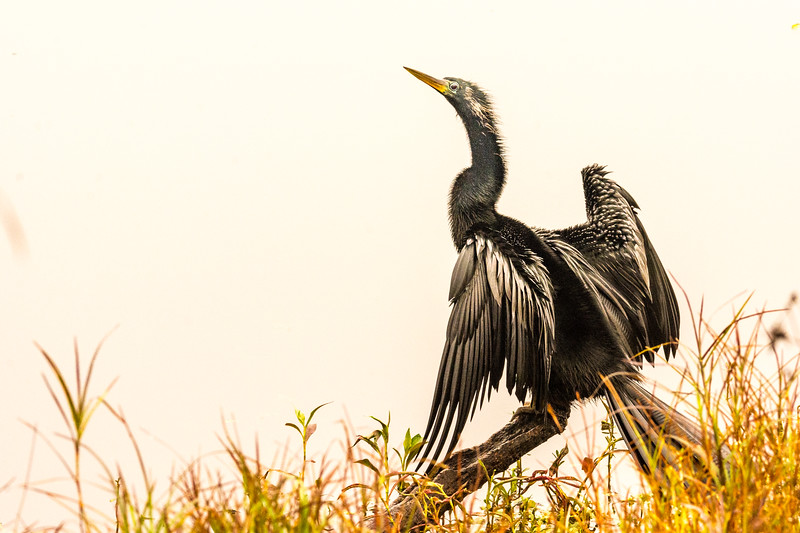 Anhinga Drying It's Wings