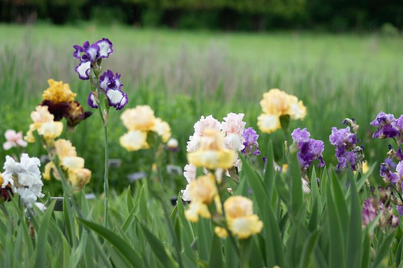 Iris 9 Arboretum.jpg
