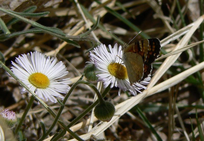 DM1PtdCresV22 April 16, 2007  1:27 p.m.  P1010022 Painted Crescentm, Phyciodes picta S. E. Az.