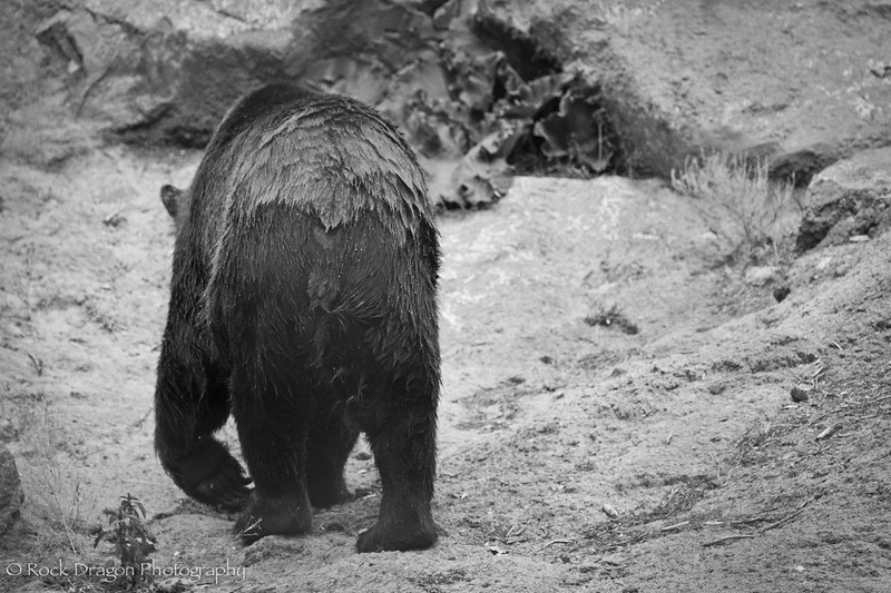 A Grizzly Bear at the Calgary Zoo.