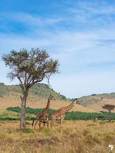 Male Masai Zebra