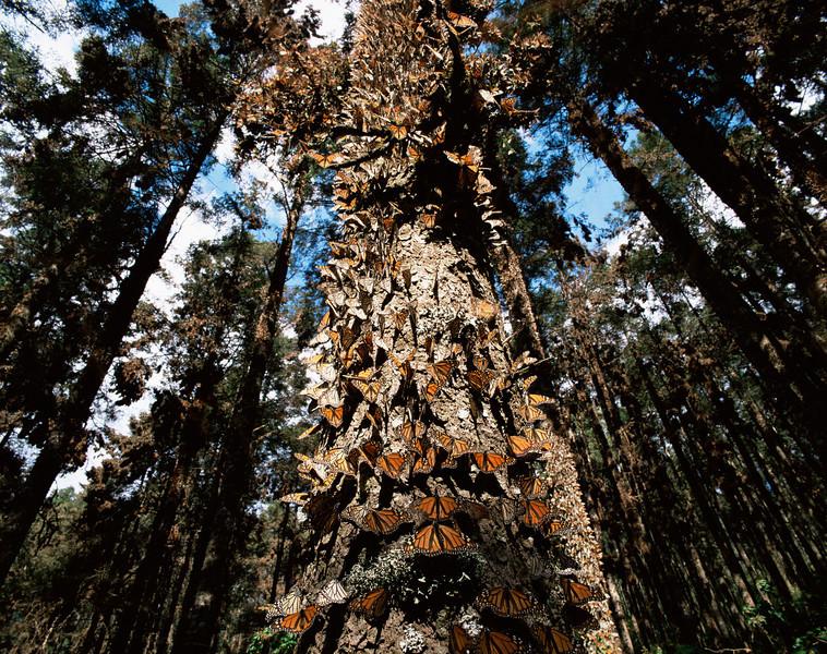 Monarch Butterfly Biosphere Reserve, Michoacan, Mexico / Monarch Butterflies, Danaus plexippus, cover tree trunks, Sierra Chincua.  12002H7