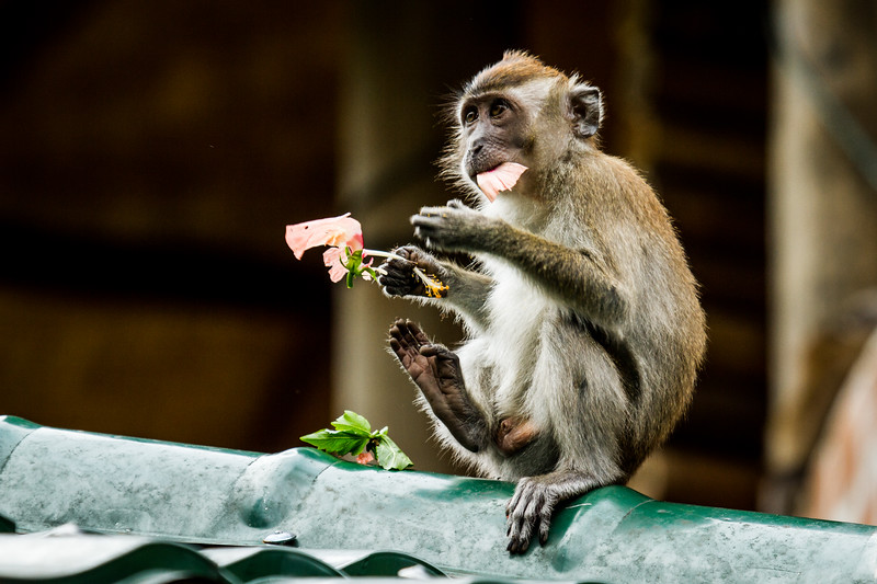 Crab-eating macaque, Indonesia., long-tailed macaque (Macaca fascicularis). Eating a flower. Bukit Luwang, Northern Sumatra.