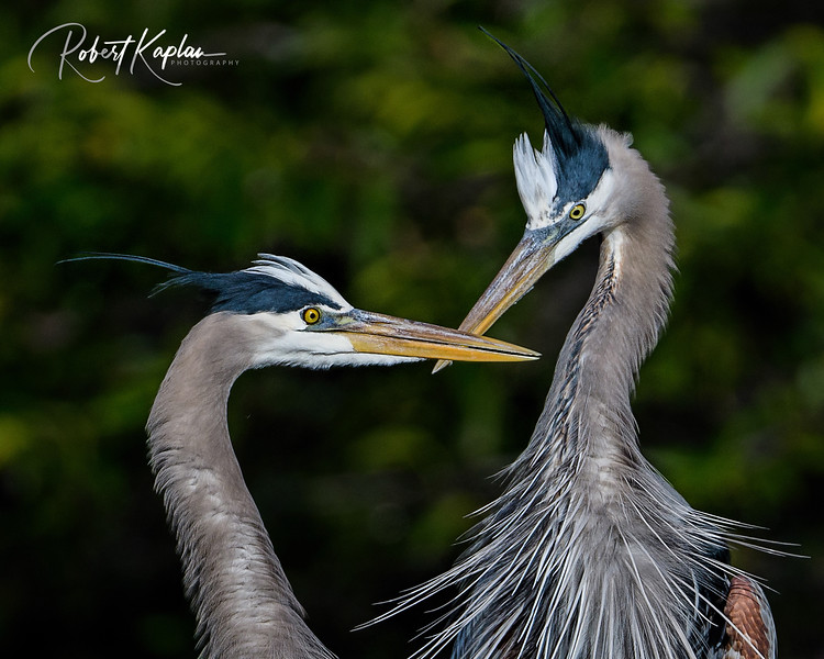 Great Blue Heron-9975-level adjustment.jpg