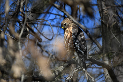Hawk in the Neighborhood