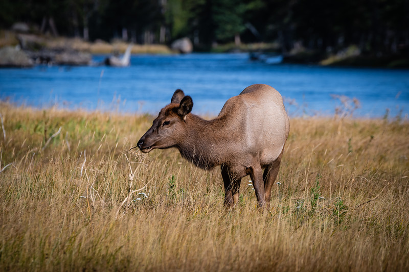 Elk baby blue water full 091918.jpg