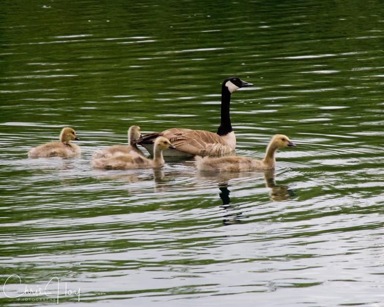 goose family.jpg
