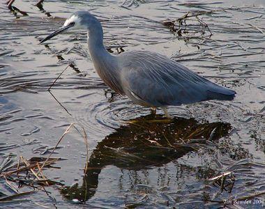 Birds - Herons, Spoonbills and Ibis
