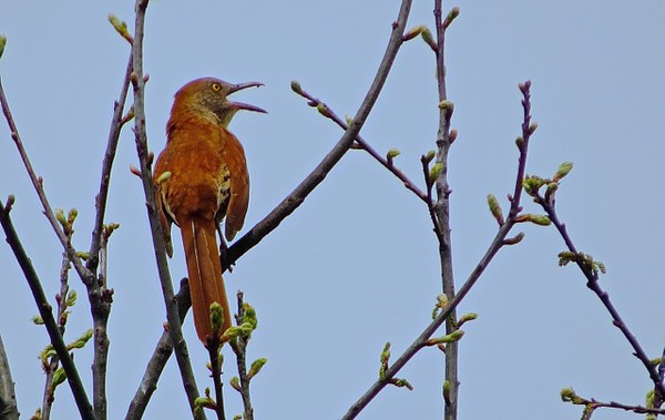 ". Submitted photo - Jeanne B. Williams <br> This brown thrasher represents one of 170 species that have been seen at the Margaret Peak Nature Preserve on June 28, 2017. The Eaton Township preserve is a hidden gem for birders, hikers and anyone who wants to experience the outdoors. Photographer Jeanne B. Williams said the bird has nested at Peak Preserve for years and ""is very talkative and rather secretive.\"""
