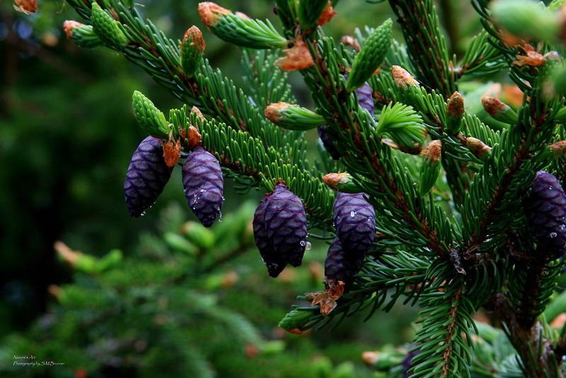 Conifer Tree in Maine