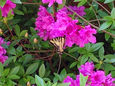 2015 May Butterfly