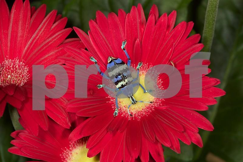 Smurf Weevil