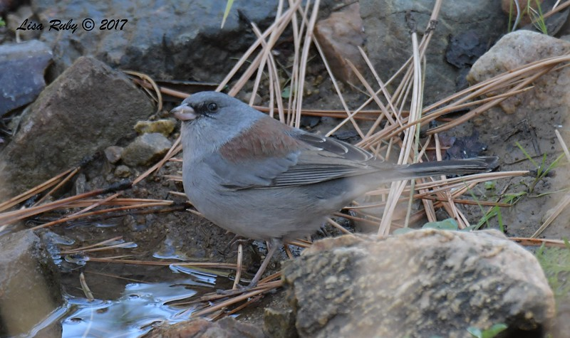 Dark-eyed Junco (Red-backed, or Gray-headed?, based on bill color I'm guessing Gray-headed) - 10/19/2017 - Wickwood Lane, Prescott, AZ