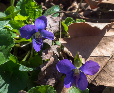 Van Cortlandt Park Wildflower Walk -April 2016