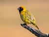 Male Southern Masked Weaver Bird