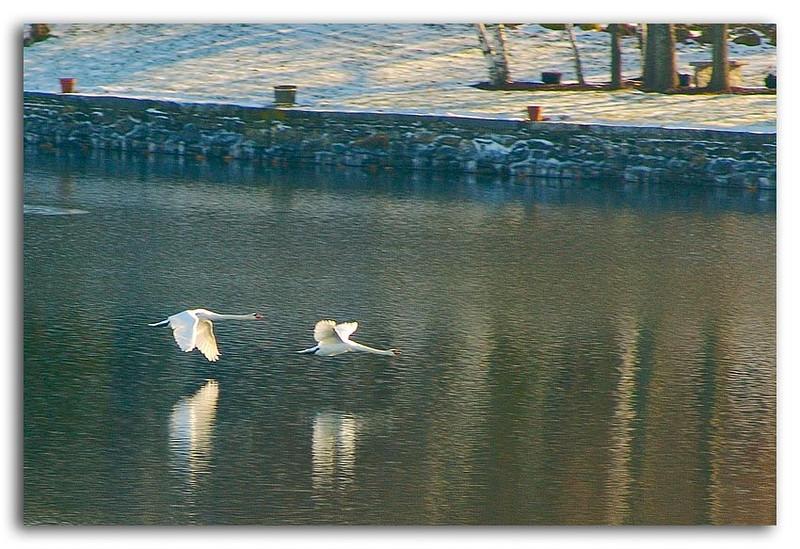 Pair of Swans.jpg