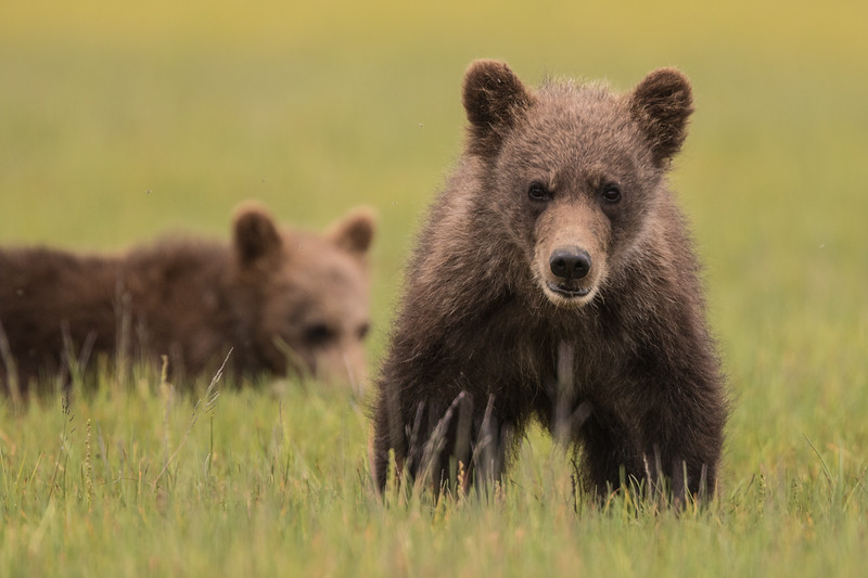 alaska-bears-36.jpg
