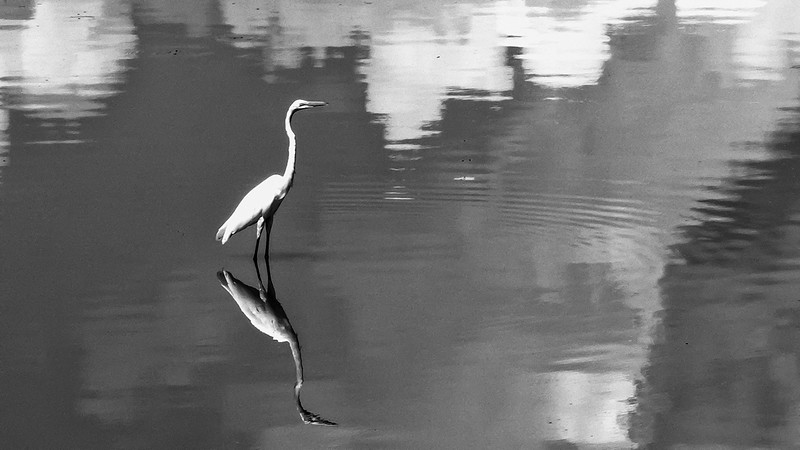 White Egret Reflecting BW.jpg