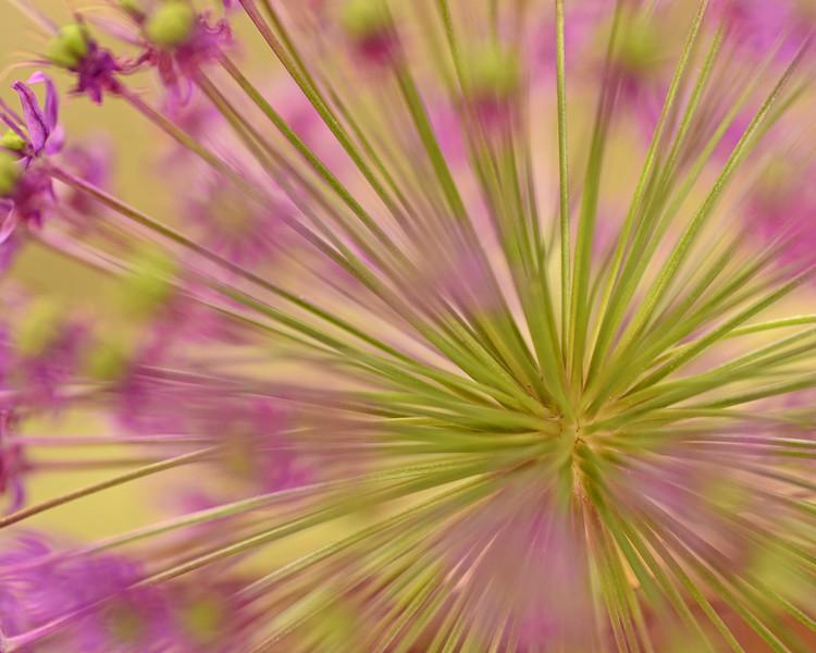 Allium Burst