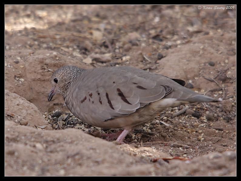 Common Ground Dove, Sonny Bono Nature Center, Salton Sea, Imperial County, California, November 2009
