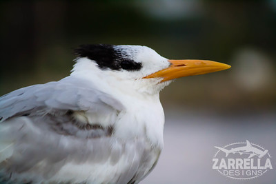 """Royal Tern"" (Hillsboro, Florida)"