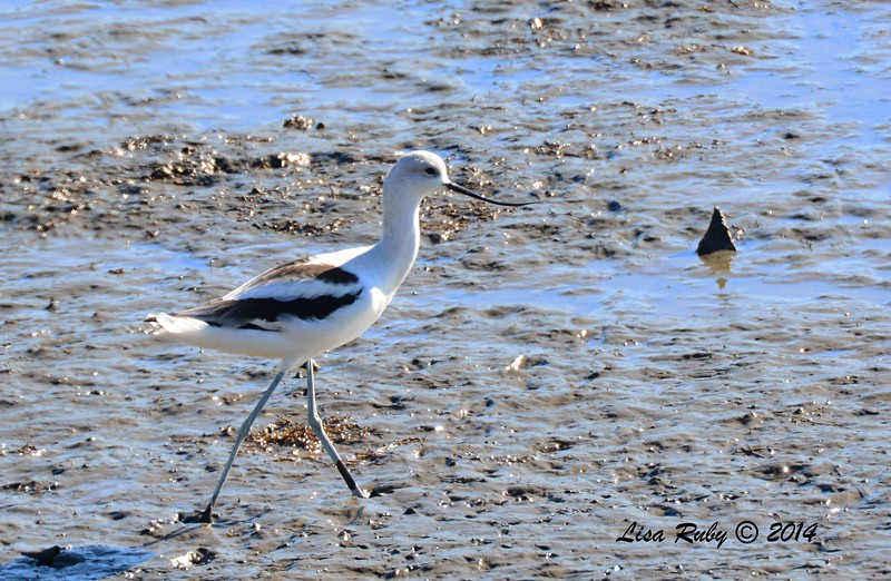 American Avocet - 12/29/2014 - San Diego River across from Sea World