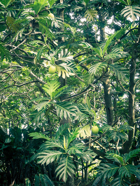breadfruit trees 2.jpg