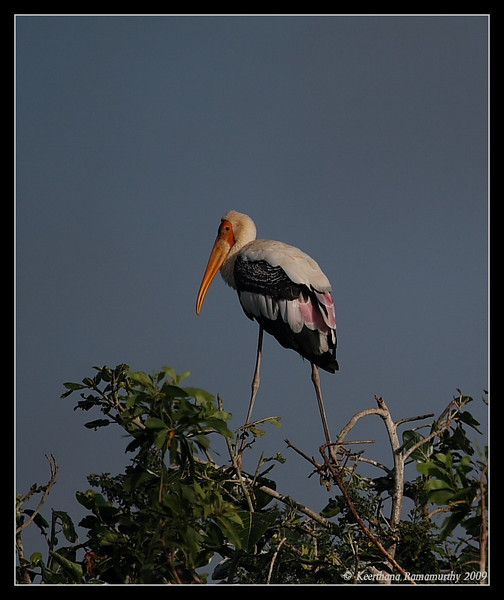 Painted Stork, Kukkarahalli Lake, Mysore, Karnataka, India, June 2009