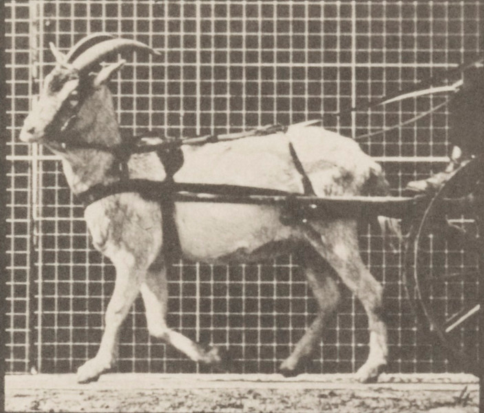 Goat walking, harnessed to a sulky with driver