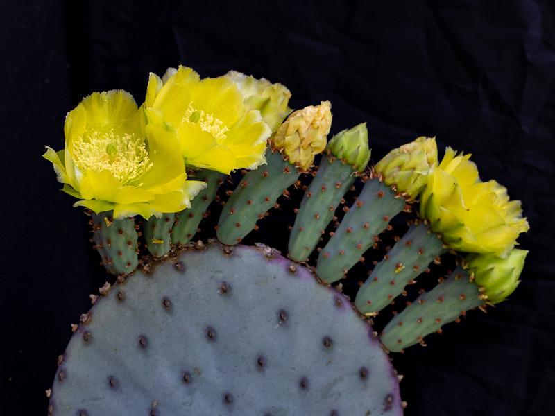 IR Cactus Flowers 2-1-2019e lt-2841.jpg