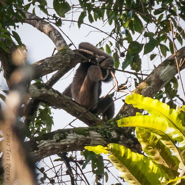 MONKEY - gibbon-0350.jpg