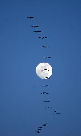 20100328_ 165_number_sandhill_cranes_vertical_moon_crop_.jpg