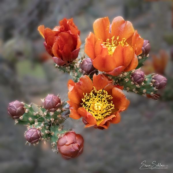 Sabino Cactus Flowers 5-2-2019d-.jpg