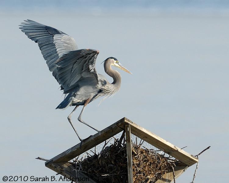 Great Blue Heron on Osprey nest platform   Blackwater NWR Dorchester County, Maryland December 2010