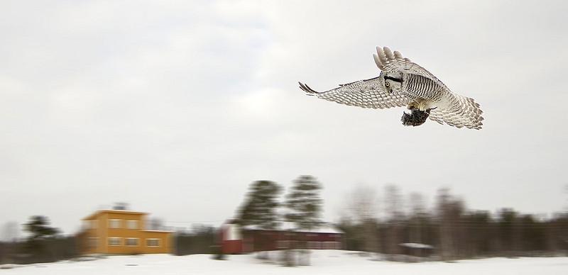 Haukugle i Pasvik mars 2003 (© Ragnar Våga Pedersen)
