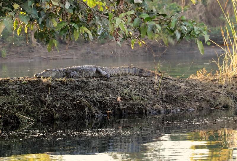 Crocodile sighting on the Chambal river
