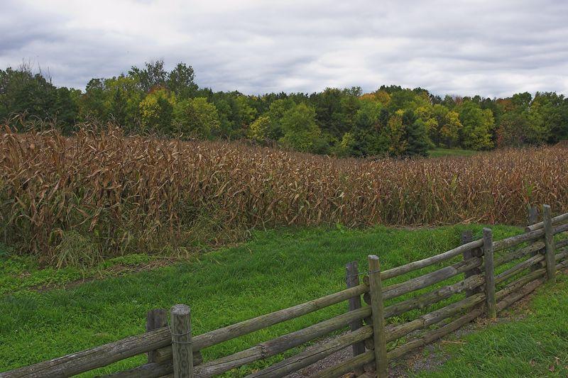 Fence, corn, trees
