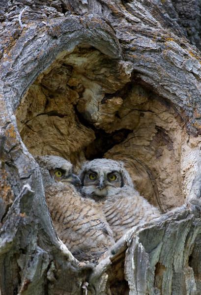 gh owl071.jpg