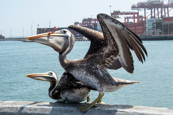Lima, the pelicans land - May, 2015