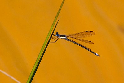 WaterworksCA-2 - Great Spreadwing (male).jpg