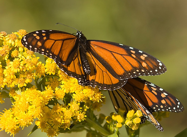 Monarch_CapeMay_Oct10_01.jpg