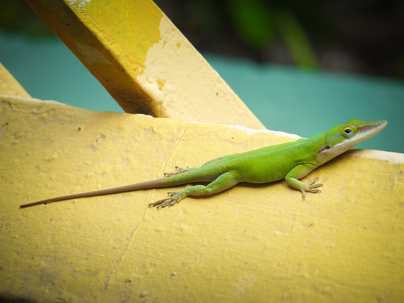 Anole lizards are everywhere.
