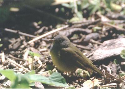Genus: Oporornis